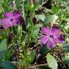 Kleine maagdenpalm / Vinca minor 'Atropurpurea - potmaat: 9cm