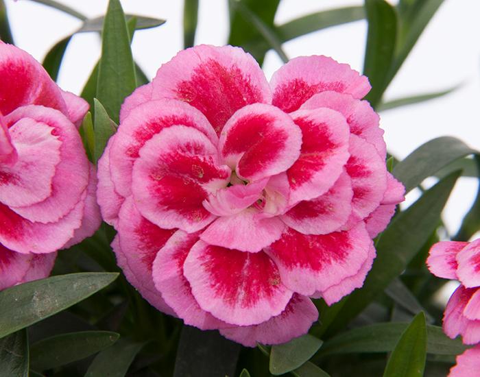 Dianthus Violet & Pink in potje 9cm