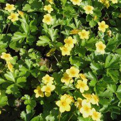 Goudaardbei / Waldsteinia ternata