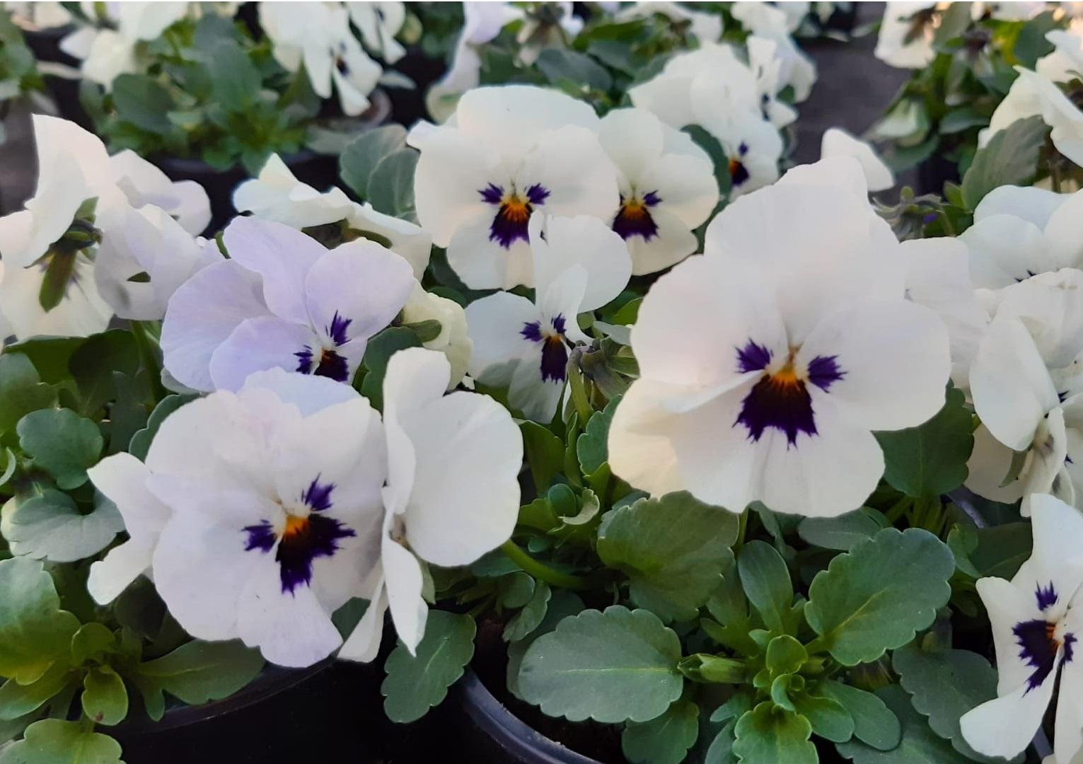 Bosviooltjes: wit pet paarse kern