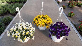 Hangpotjes met viooltjes, diverse kleuren