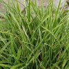 Zegge / Carex foliosissima 'Ice Dance' - potmaat: 9cm