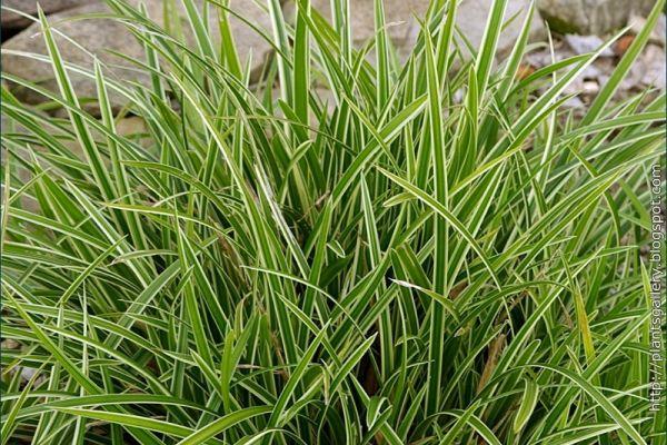 Zegge / Carex foliosissima 'Ice Dance'