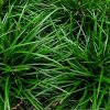 Zegge / Carex foliosissima 'Irish Green' - Potmaat 9cm