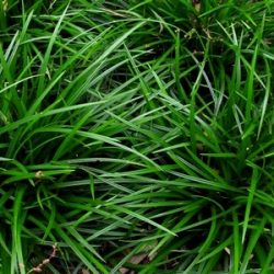 Zegge / Carex foliosissima 'Irish Green'