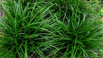 Zegge / Carex foliosissima 'Irish Green'