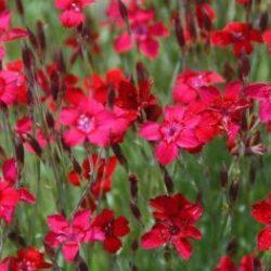 Steenanjer / Dianthus deltoides 'Leuchtfunk'