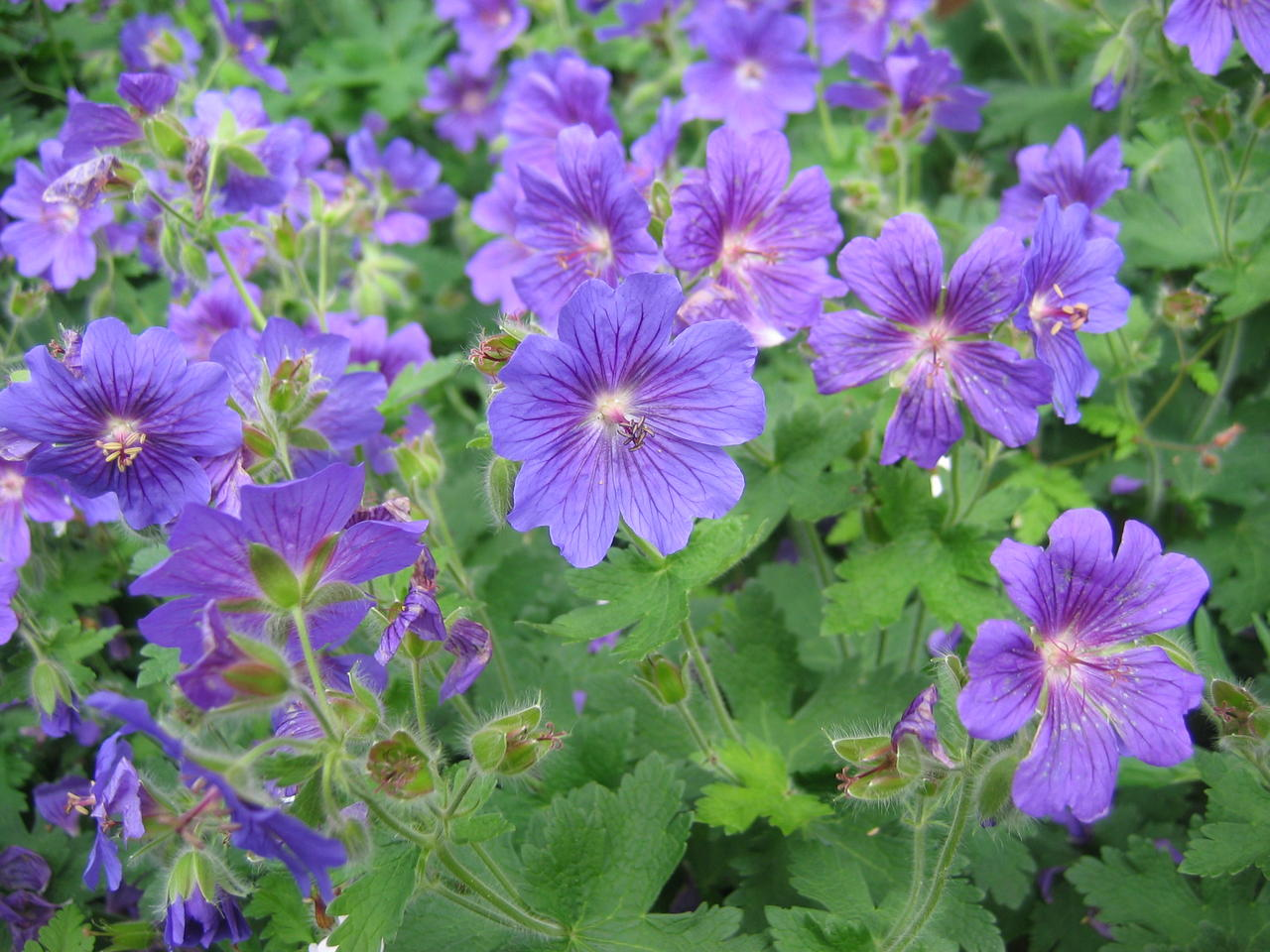 Ooievaarsbek / Geranium 'Johnson's Blue'