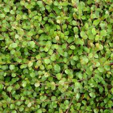 Haarwingerd / Meuhlenbeckia
