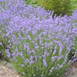 Lavendel / Lavendula angustifolia 'Munstead' snelgroeiend
