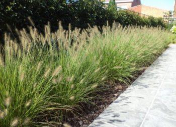 Lampenpoetsersgras / Pennisetum alop. 'Hameln'
