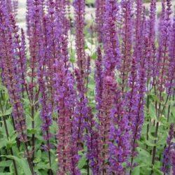 Salie / Salvia nemorosa 'Caradonna'