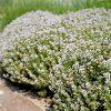 Tijm / Thymus vulgaris potmaat 10.5cm - potmaat: 10,5cm