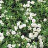Wilde bertram / Achillea ptarmica 'The Pearl' - potmaat: 9cm