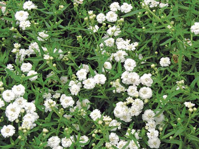 Achilea ptarmica 'the pearl'