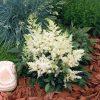 Pluimspirea / Astilbe Arendsii 'Astary white' - potmaat: 9cm