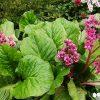 Schoenlappersplant / Bergenia cordifolia - potmaat: 9cm