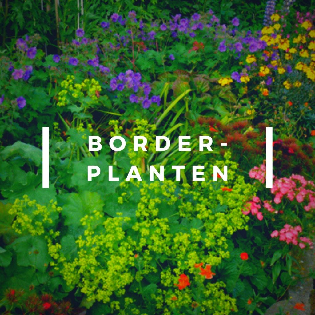 Borderplanten