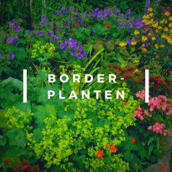 Borderplant