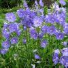 Prachtklokje / Campanula Persicifolia 'Telham Beauty' - potmaat: 9cm