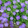 Karpatenklokje / Campanula carpatica 'Blaue Clips' - potmaat: 9cm