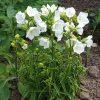 Prachtklokje / Campanula Persicifolia Takion F1 - potmaat: 9cm