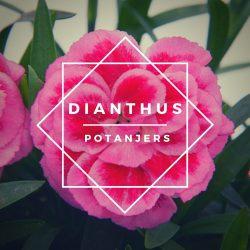 Dianthus (potanjers)