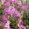 Ooievaarsbek / Geranium cantabrigiense 'Berggraten' - potmaat: 9cm