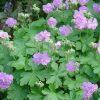 Ooievaarsbek / Geranium cantabrigiense 'Cambridge' - potmaat: 9cm