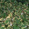 Moerasanemoon / Houttuynia cordata 'Variegata' - potmaat: 9cm