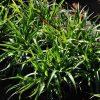 Veldbies / Luzula sylvatica - potmaat: 9cm