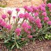Alpenpekanjer / Lychnis alpina 'Rosea' - potmaat: 9cm