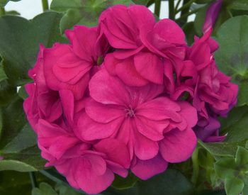 Pelargonium Blue