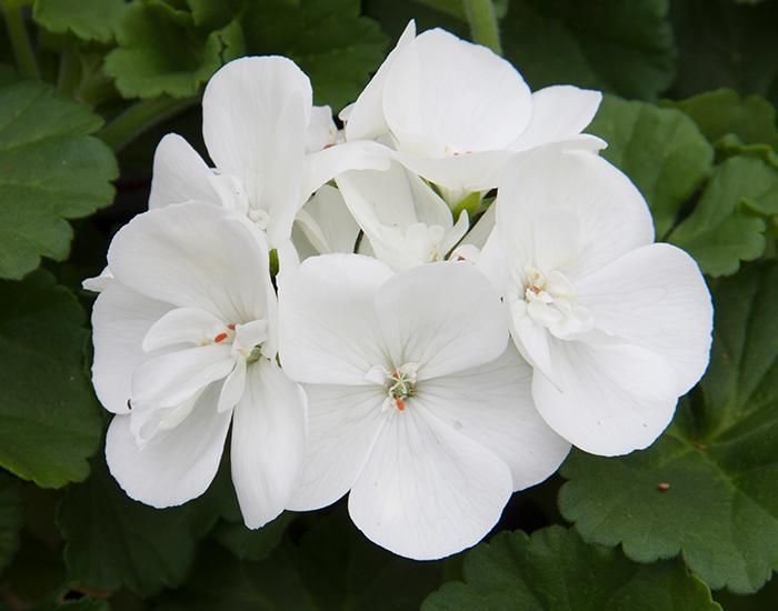 Pelargonium Clarissa