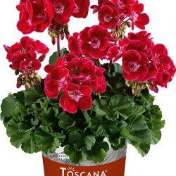 Pelargonium Dolce vita Kiss