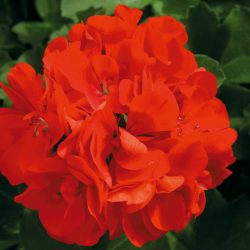 Pelargonium Fire