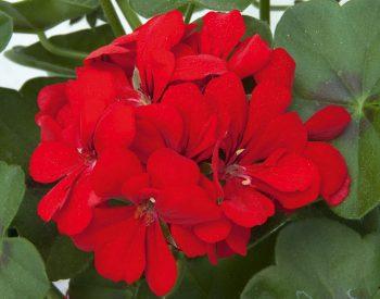 Pelargonium Scarlet