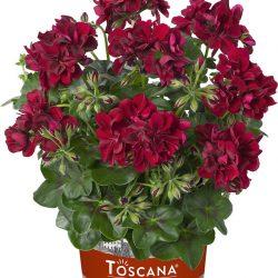 Pelargonium-Tomke