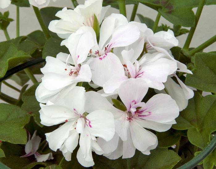 Pelargonium White