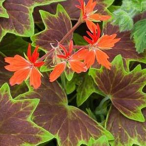Pelargonium vancouver
