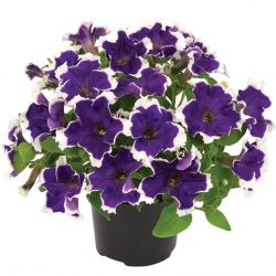 Petunia-grandiflora-Collection-Picotee-Blue_32882_5