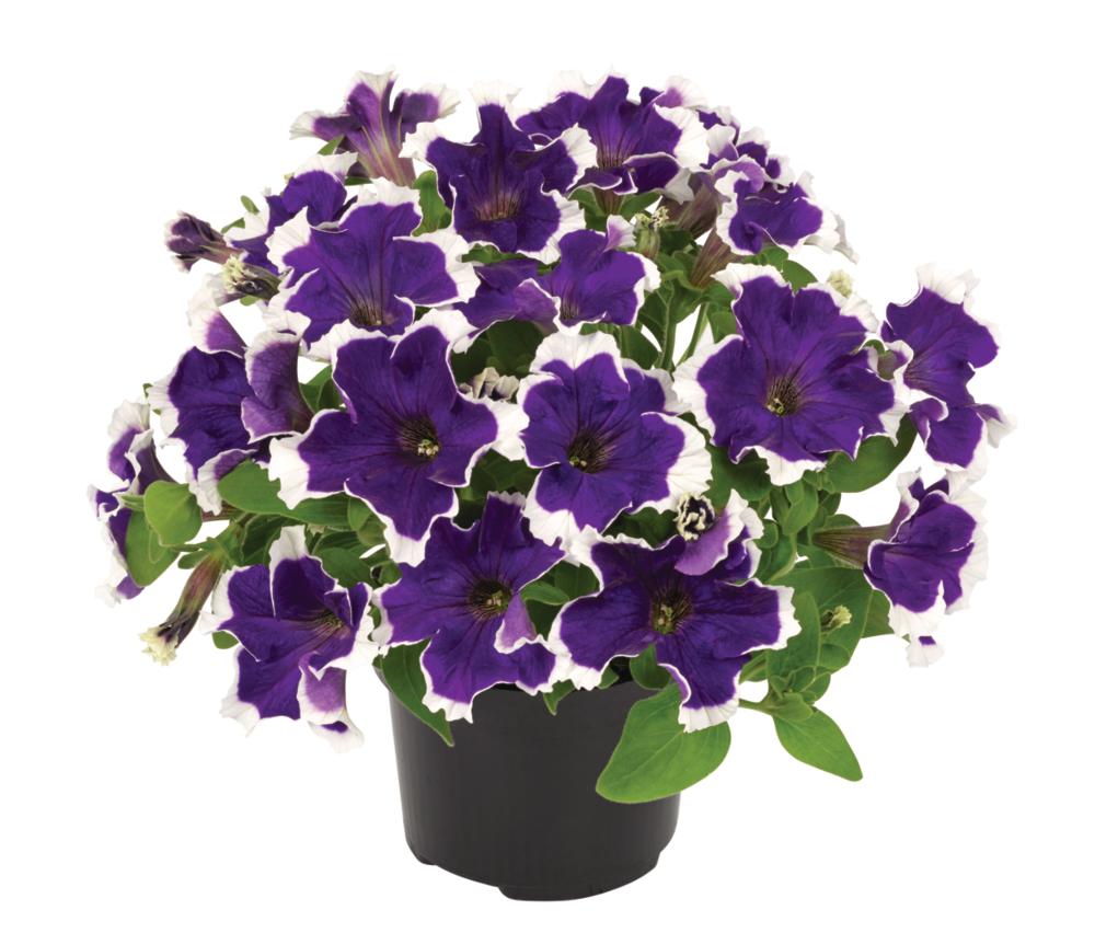 Petunia-grandiflora-Collection-Picotee-Blue_32882_5