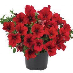 Petunia-grandiflora-Surfinia-Compact-Dark-Red_16402_2