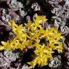 Vetkruid / Sedum spathulifolium 'purpureum' - potmaat: 9cm