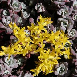 Farinose leaves suffused heavily with purple, yellow flowers. 5cm