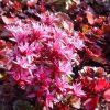 Vetkruid / Sedum spurium Rood - potmaat: 9cm