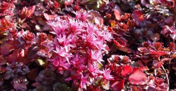 Sedum spurium rood
