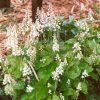 Schuimbloem / Tiarella cordifolia - potmaat: 9cm