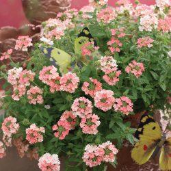 Verbena-peruviana-Venturi-Peach_17074_2
