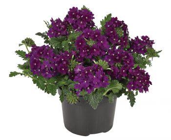 Verbena-peruviana-Venturi-Purple_20654_3